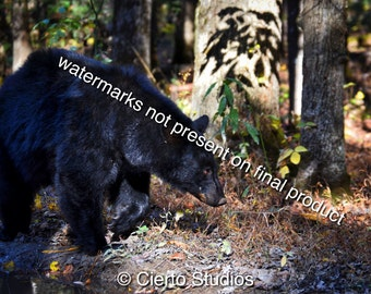 Black Bear 2, Cades Cove, Great Smoky Mountains - digital download