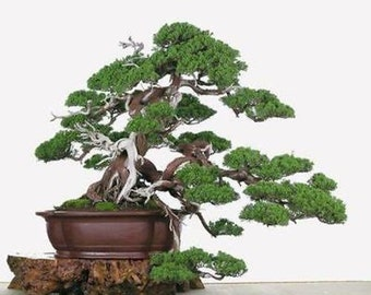 25 Chinese Juniper Tree Seeds, Juniperus Chinensis, Bonsai - Combine Shipping!