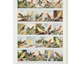 A3 Bird Print Wall Art - Popular & Beautiful Hybrids (Print #1)