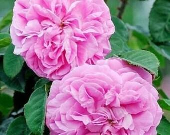 Bulgarian Rose Absolute (Rosa damascene) Pure Organic