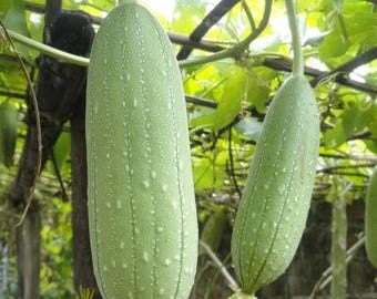 100 luffa cylindrica , Loofah Seeds , Dishcloth Gourd, Vegetable Sponge Gourd