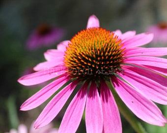 Echinacea, purple cone flower; wild flower; macro; wall art; poster; bedroom; bathroom; kitchen; garden