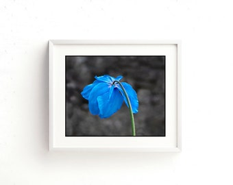 Set of 5 printable digital downloads. For wall art, greetings cards, e cards, screen savers etc. Blue poppy prints.