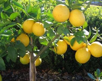 25 Organic Seeds - DWARF MEYER Lemon Tree - Pre Bonsai, Ornamental ***USA Seller