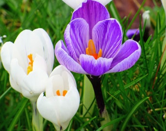 Crocus, Spring, High Resolution, Digital Download