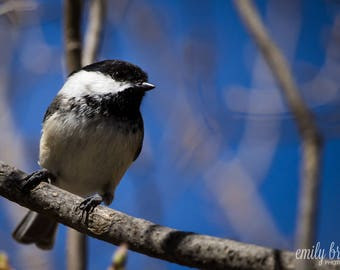 Chickadee photography print, wall art, bird photography, fine art print, 5x7 print, 8x10 print