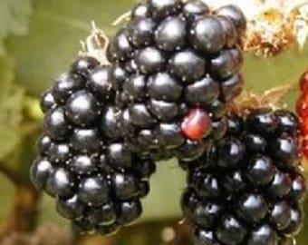 100 BLACKBERRY Fruit Bush Rubus Seeds