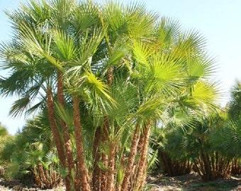 Acoelorrhaphe Wrightii, Everglades Palm Tree Seeds