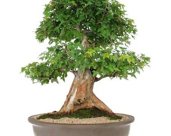 Bonsai Acer Buergerianum 30 years old