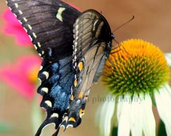Black Swallowtail Butterfly on White Daisy