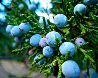 Juniper Berries (fresh when avaialbe)