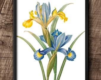 Iris · 8x10 · Instant Download · Botanical · Vintage · Flower ·  Wall · Printable · Digital File #39