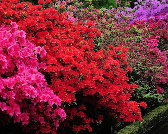 Azalea japonica Collection - Evergreen Japanese Azaleas - Pack of THREE Plants