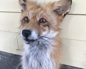 Fluffy Red Fox Shoulder Mount Taxidermy