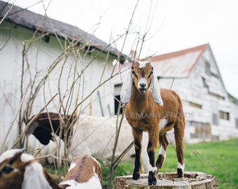 Goat Photo, Farm Animal Photography, Rustic Home Decor
