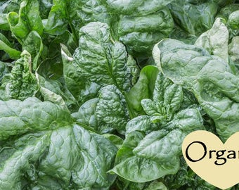 Spinach Bloomsdale Long Standing Organic Non-GMO, 30+ Organic seeds, Spinach, Organic garden Seeds, Vegetable Seeds, Organic gardening seeds