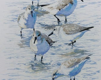 Feeding Sanderling