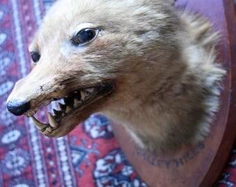 Antique British Taxidermy Fox-Hunting Trophy, Edwardian