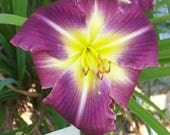Daylily Plant - Solid Space (S-167)