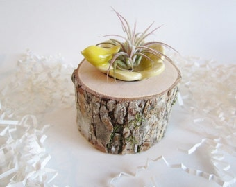 Air plant planter, ceramic flower vase, Cubicle decor, Hickory wood air plant holder,  Desk decor, planter