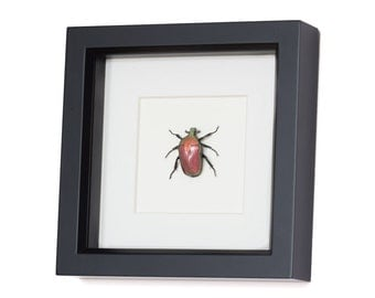 Framed Beetle Taxidermy Fruit Chafer