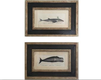 c. 1824 WHALES FRAMED LITHOGRAPHS - original antique prints - ocean marine mammal baleen whales - set of 2 in Italian frames - ready to hang