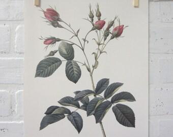 Redoutes Roses Book Page Plate Botanical Wall Art Pink Rosa Evratina Rose