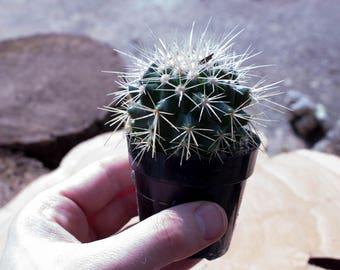"""Cactus Plant - """"Golden Barrel"""" Cactus - Excellent Terrarium Plant"""