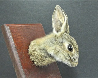 Wild Rabbit Taxidermy Head Mount on Varnished Wooden Plaque