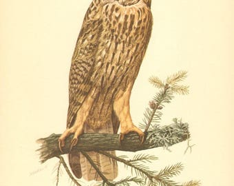 1953 Long-eared Owl - Asio otus Vintage Offset Lithograph