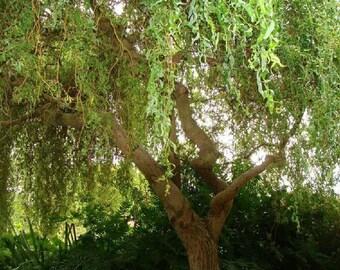 Corkscrew Golden Curl Willow, Salix matsudana, Golden curl, live plants