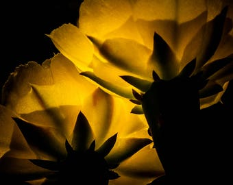 11x14 Print Yellow Spring Cactus Flowers with Available Matboard Mounting