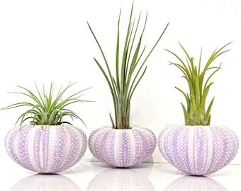 Air Plant KIT - Includes:3 Tillandsia Live Air Plants + 3 Purple Sea Urchin Shells + Gift Box * Genuine Shell Planters Hand Picked Terrarium