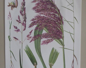 Original Vintage Red Canary Grass - Reed - Botanical Poster - c.1970s - Vintage School Chart