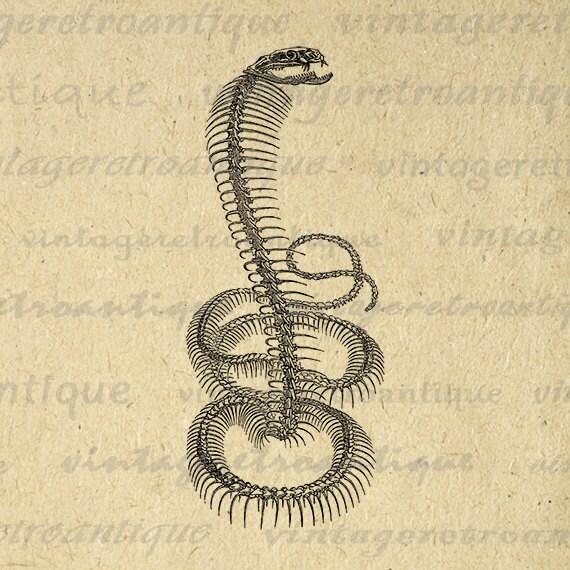 Anaconda skeleton - photo#21