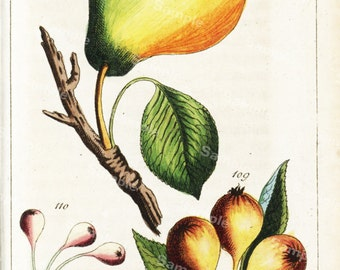 Original Antique Natural History Botanical Fruit Print -  Hand Colored Engraving