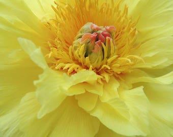 Peony Photograph - Yellow Peony - Elegant Flower - Blooming Peony - Nature Flower - Flower Photograph - Nature Photography