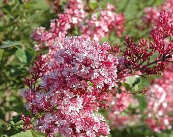 Tinkerbelle Pink Lilac ( syringa ) - Live Plant - Starter Plug (LG)