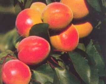 4'-5' live ROYAL APRICOT TREE Plant Live Fruit Trees Grow Your Own Healthy Fresh Natural Apricots New Home Garden Best Orchard Plants Now