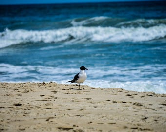 Outer Banks Photography - Digital Download, Seagull on the Seashore