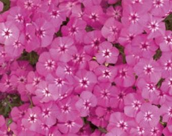 PBPHD)~PINK PHLOX Drummondii~Seeds!!!!~~~Pink Garden Jewels!