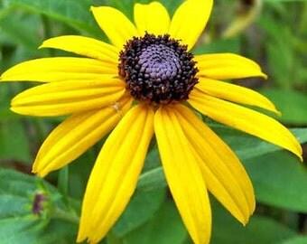 PBRU)~BLACK-EYED Susan Rudbeckia~Seeds!!!!~~~~~~~A Black-Eyed Beauty!!