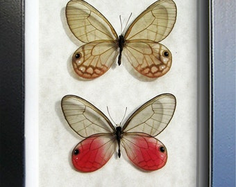 Real Butterflies Satyr Glasswing Pair Cithaerias Aurorina Framed In Museum Quality Shadowbox