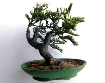 Windswept Bonsai 2 in tall