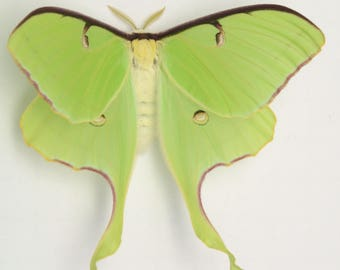3 LUNA MOTH unmounted specimens SPECTACULAR and ethereal graceful