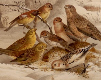 """Antique print.1884.Birds:Emberizidae,BUNTINGS,SPARROWS.Chromolithograph.Natural history. 133 years old print.9.8x6.6"""" or 25X17cm."""