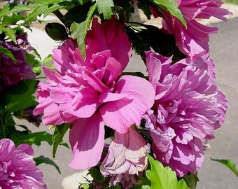 Rose of Sharon Hibiscus Plant, Shrub Althea Hibiscus Double Purple or White Flower Blooms, Syriacus Tree/Bush/Shrub Hibiscus Plants