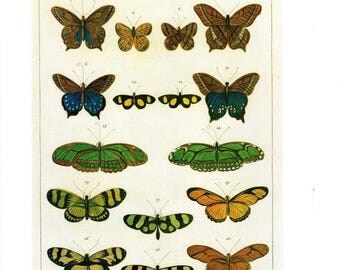 "50% Off Estate Sale Antique Nature Art, Vintage Re print Albertus Seba 18th Century, Butterfly, Zoology, Botany Illustration, 13.25"" x 9.5"""