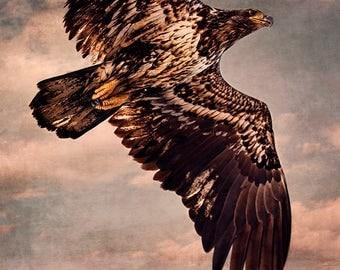 Bald Eagle Flying Overhead Large Wall Art Decor