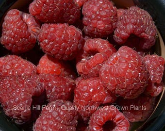 Plant a 5 Foot Row of Joan J Thornless Everbearing Red Raspberry Rootstock